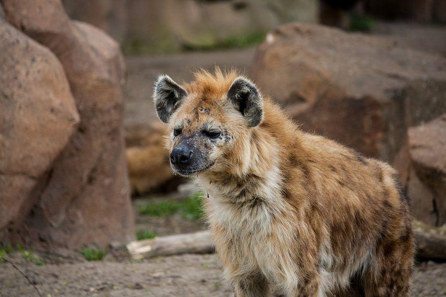 Hyena looking