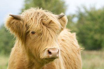 Schotse hooglander koe jaarling van Hans Oudshoorn
