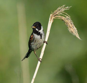 Rietgors vogel van miranda  Leenheer