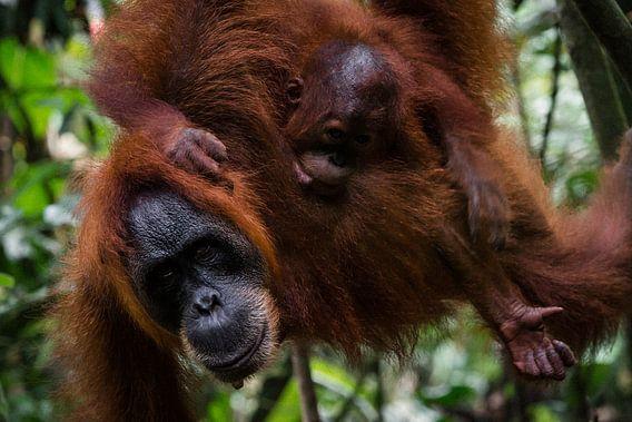 Moeder orang-oetan met jong - Bukit Lawang, Sumatra, Indonesië van Martijn Smeets