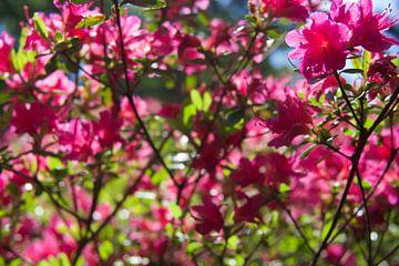 Rosa Blüte von Studio Maria Hylarides