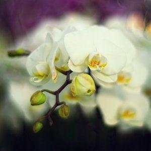 witte orchidee van Elle Elskamp