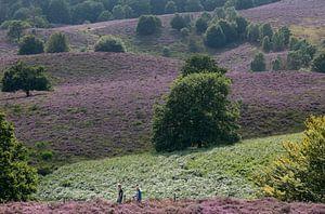 Heide in bloei op de Posbank.