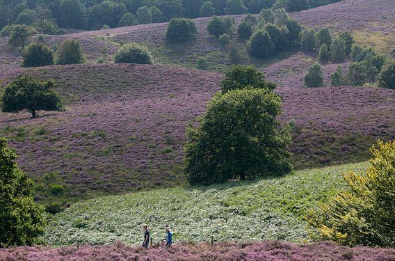 Heide in bloei op de Posbank. van Luuk van der Lee