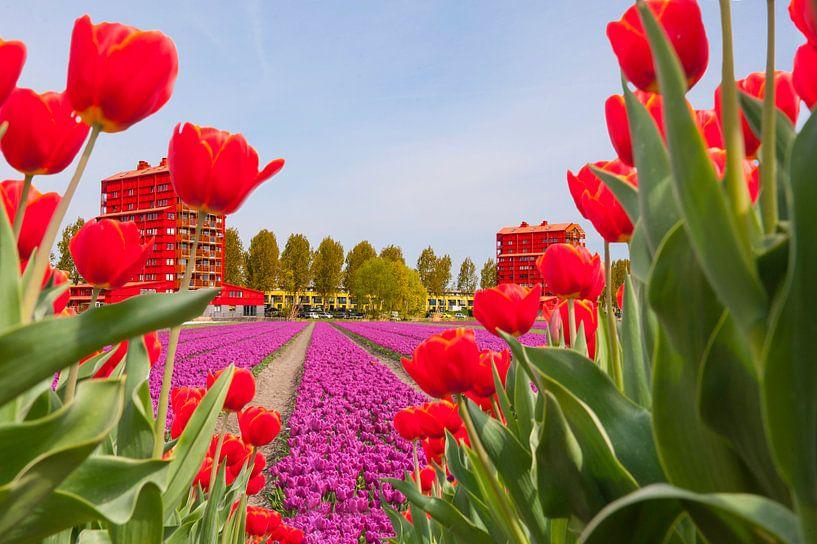 Tulips in a suburban setting van Brian Morgan