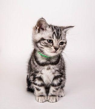 Britisch Kurzhaar Kätzchen 1 von Jeroen van Alten