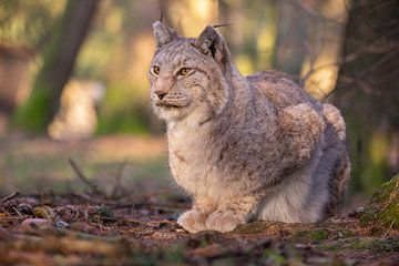 Lynx sur Dennis Eckert