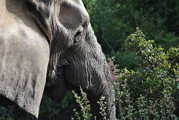 Elephant in focus van Suzy den Engelse