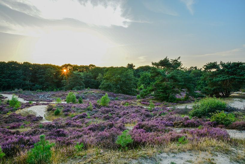 Sunset over blooming heather van Jaco Verheul
