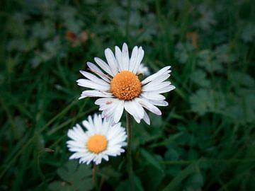 Gänseblümchen von Fowler Fotografie