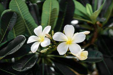 Frangipani van road to aloha