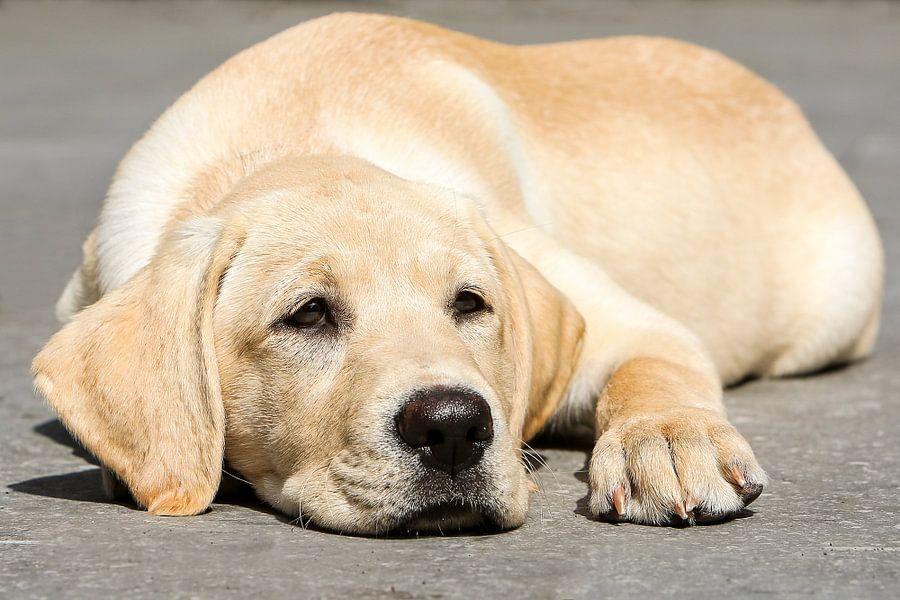 Blonde labrador pup ligt te luieren.