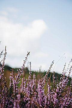 De paarse bloeiende hei van Crailo, bij Bussum in Nederland van Evelien Lodewijks