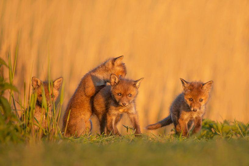 vossenwelpjes van Ina Hendriks-Schaafsma