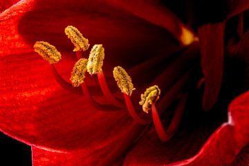 Intens rode Amaryllis met meeldraden en stamper von Abraham van Leeuwen