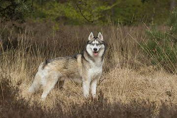 Siberian husky in the heathland van Dagmar Hijmans