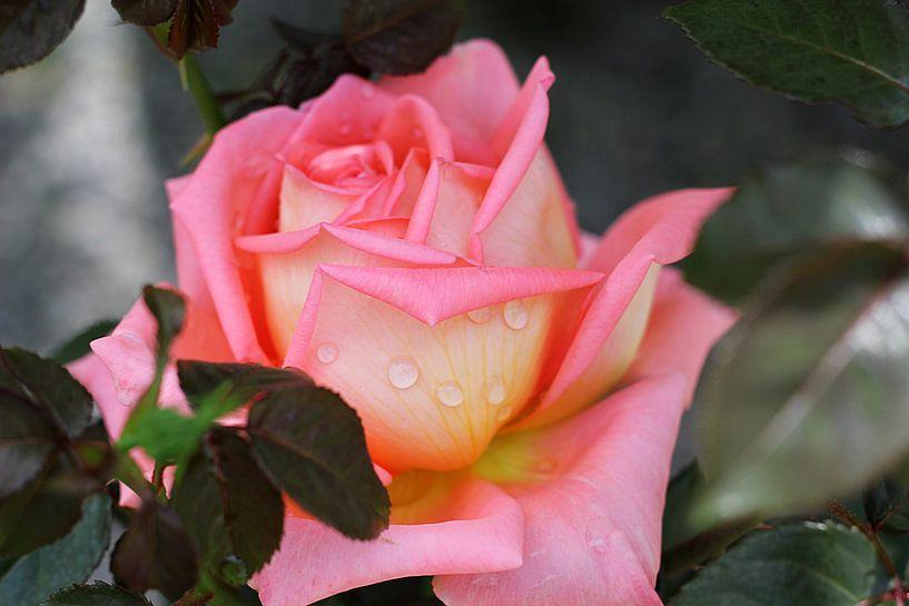 The Pink Rose van Cornelis (Cees) Cornelissen