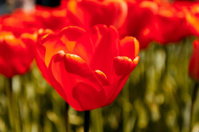 Stralende rode tulpen van Koop je Canvas