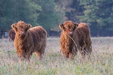 2 Nieuwsgierige Schotse Hooglander kalfjes van Karin van Rooijen Fotografie