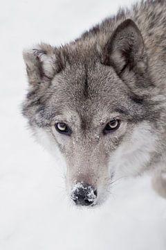 Ruhiger, zuversichtlicher Blick eines Wolfes, von Michael Semenov