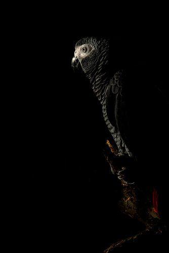 Grijze roodstaart papegaai (Kongo)