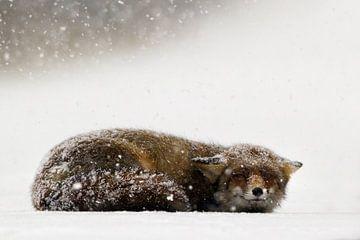 Vos in de sneeuw von Menno Schaefer