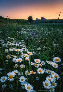 Gänseblümchen Flower Power_II von Joris Pannemans - Loris Photography