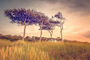 Windflüchter am Weststrand (Prerow / Darß) von Dirk Wiemer