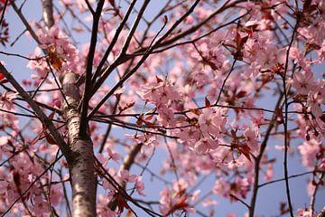 Roze lentebloesem van Deborah S