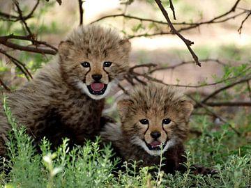 Cheetah welpen  von Roos Vogelzang