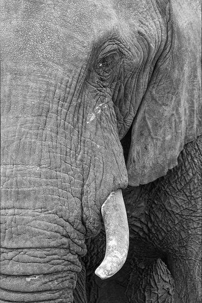 Olifantenoog van Ellen van Schravendijk