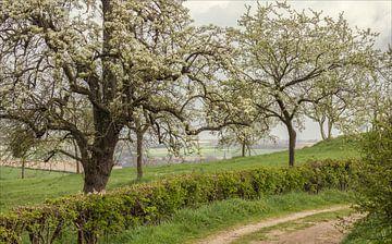 Bloesem Schweiberg in Zuid-Limburg van John Kreukniet