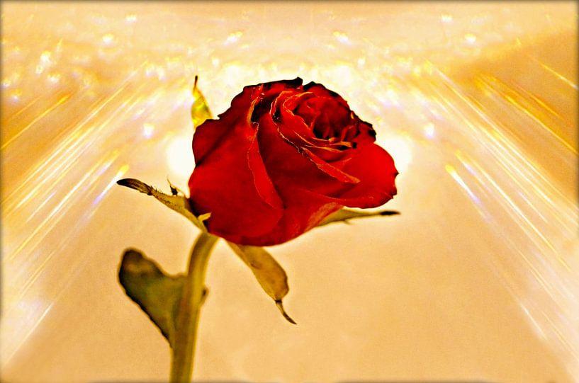 Sunshine on a Rose van Leo Huijzer