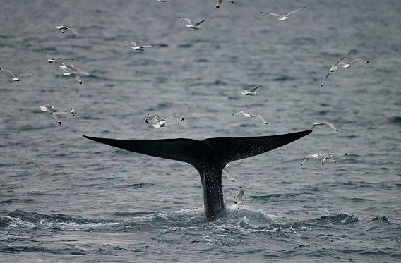 De staart van de Blauwe Vinvis