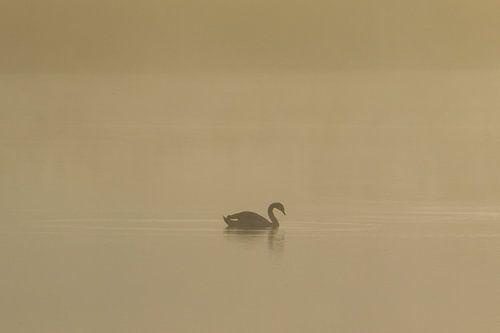 Silhouet zwemmende zwaan in de ochtendnevel