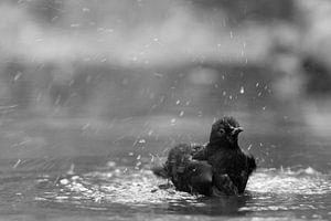 Merel  was zich in het water, zwart-wit van