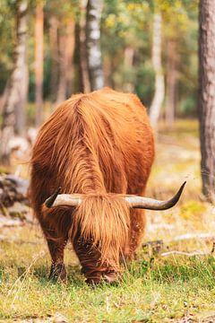 Schotse Hooglander in het bos op de Veluwe van Sjoerd van der Wal