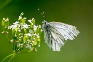 Vlinder: witje van Kim van Dijk