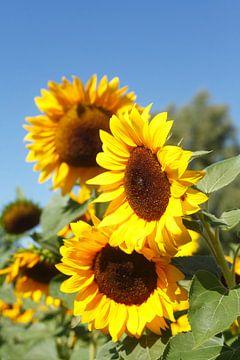 Sonnenblumen,  (Helianthus annuus), Blauer Himmel, Bremen, Deutschland, Europa