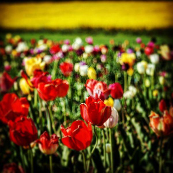 Tulpen Landschaft von Dusan Pintner