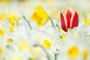 Tulp tussen narcissen