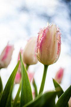 Roze met witte bloeiende tulp met rafeltjes van Simone Janssen