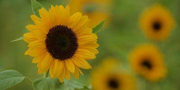 Sonnenblume von Kneeke .com