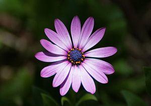 Enkele paarse schoonheid van Tomasz Baranowski