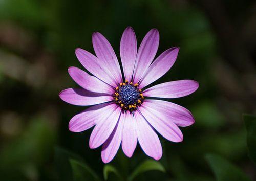 Enkele paarse schoonheid