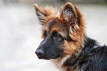Oud Duitse herder pup sur