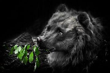 Ein niedlicher schöner flauschiger Bär (weiblich) frisst grüne Blätter. Dunkel, schwarzer Hintergrun von Michael Semenov