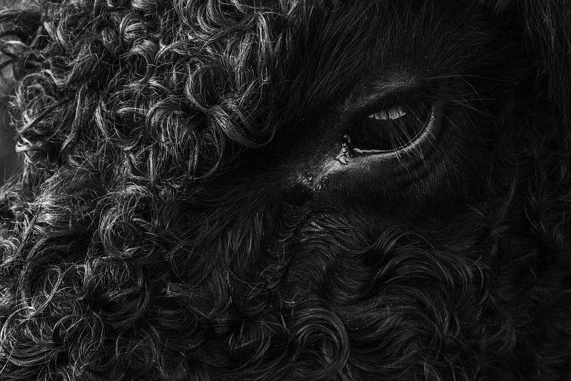 galloway koe van Martzen Fotografie