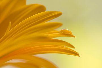 Gelbe Gerbera von Barbara Brolsma