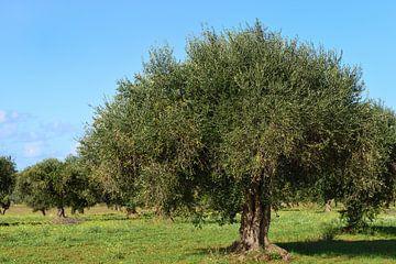 Olijfbomen in het veld van Ulrike Leone